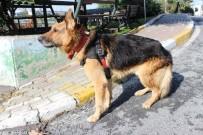 Şanslı İsimli Felçli Köpek Yürüteçle Hayata Tutundu