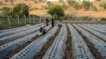 Sason'da Çilek Ekimine Başlandı