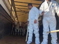 KURA ÇEKİMİ - 20 Genç Çiftçiye 100 Büyükbaş Hayvan Dağıtıldı