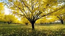 DOĞU ANADOLU - Iğdır'da Kayısı Bahçelerinde Sonbahar