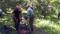 GÖLLER - Isparta Elması Üreticinin Yüzünü Güldürdü