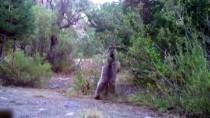 ORMAN BAKANLIĞI - Vahşi Yaşam Fotokapana Yansıdı