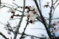 MUSTAFA KÖSE - Yozgat'ta Erik Ağacı Çiçek Açtı