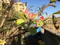 Akdağmadeni'nde Elma Ağacı Çiçek Açtı