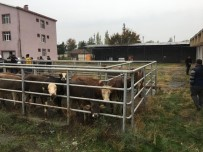 HAYVAN - Iğdır'da Genç Çiftçilere Hayvan Dağıtımı