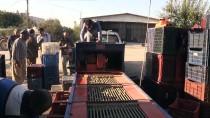 AYDOĞAN - Toroslar'ın 'Organik' Zeytini İlgi Görüyor
