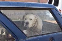 KÖPEK - Yaralı Saldırgan Köpek Paniğe Neden Oldu
