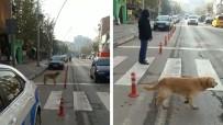 SOKAK KÖPEĞİ - Yaya Geçidini Kullanan Köpek Kameralara Yansıdı