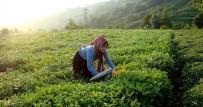 BALIKÇI TEKNESİ - Büyükşehir, Karadenizli Üreticiden Çay Alımına Başladı