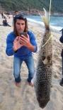 KLEOPATRA - Alanya Sahilinde Balon Balığı Paniği