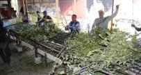 TONAJ - Defne Yaprağı Dünyaya İhraç Ediliyor