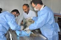 REHABILITASYON - Yaralı Baykuşu Rektör Ameliyat Etti