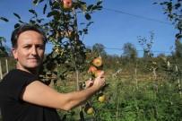 Amasya Elmasına Rakip Praziz Elmasının Hasadına Başlandı