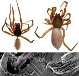 BİLİMSEL ARAŞTIRMA - Kıbrıs'a Özgü Yeni Bir Örümcek Türü Keşfedildi