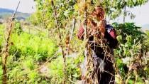 Üç Asırlık Tohumla Ürettikleri Fasulye Lezzetiyle Fark Yaratıyor