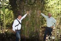 PORSUK - 2 Bin 700 Yıllık 'Porsuk' Ağacı