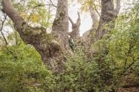 ÇINAR AĞACI - (Özel) Tam 600 Yaşında Olduğu Düşünülüyor...Yeni Keşfedildi