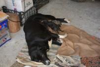 KÖPEK YAVRUSU - Gurbetçi Vatandaş Köpeklerine Sahip Arıyor