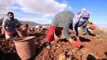 Malatya'da Yerli Tohum Patates Hasadı