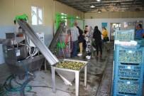 BALıKESIR ÜNIVERSITESI - (Özel) Öğrenciler 'Diplomalı Zeytinyağı' Üretiyor