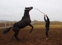 ÜÇTEPE - Şampiyon Atlar Sivas'ta Yetiştiriliyor