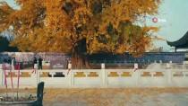 SHANDONG - 3 Bin Yıllık Ginkgo Ağacının Altın Sarısı Yaprakları Büyülüyor