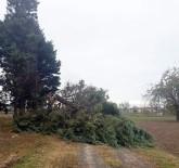ÇAM AĞACI - Fırtına Dev Ağacı Devirdi