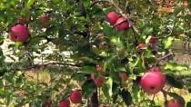 SÜTLÜCE - Maden Emeklisine 55 Ton Elma 'İkramiyesi'