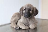SIVAS CUMHURIYET ÜNIVERSITESI - Yavru Köpeğin Bağırsağından Vida Çıktı