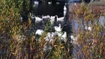 Kışın Vazgeçilmez Lezzeti Kazlar Kesim Öncesi Besiye Alındı