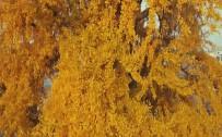 ÖLÜMSÜZ - 3 Bin Yıllık  Ağacın Altın Sarısı Yaprakları Etkiliyor