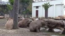 GUINNESS REKORLAR KITABı - Bursa Hayvanat Bahçesi'nde Yavru Kapibara Heyecanı