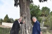 7 Asırlık Ardıç Ağacı Projelendiriliyor