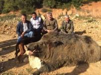 350 Kilogramlık Domuzu Avlayan Avcılar Gözlerine İnanamadı