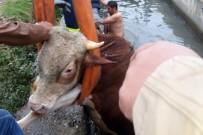 Ahırdan Kaçan Dana Sulama Kanalına Düştü