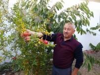 Hisarcık'ta İlk Kez Nar Yetiştirildi