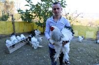 (Özel) 3 Yıl Önce Gördüğü Brahma Cinsi Tavukları Yaygınlaştırmayı Amaçlıyor