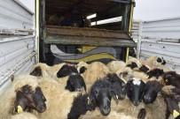 Genç Çiftçilere 238 Koyun Dağıtıldı