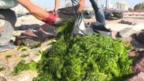 İZMİR KÖRFEZİ - İzmir Körfezi'nde 'Deniz Marulu' Yoğunluğu