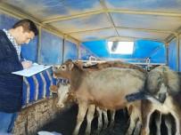 TARıM İŞLETMELERI GENEL MÜDÜRLÜĞÜ - Genç Çiftçilere Büyükbaş Hayvan Dağıtıldı
