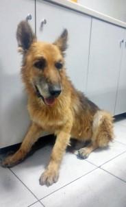 Köpeği Sürükleyen Barınak Görevlisine Soruşturma
