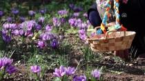 'Mucize Bitki' Çukurova Toprağını Sevdi