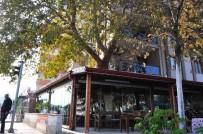 YUNUSEMRE - Asırlık Çınarı Kesmek Yerine Kahvehaneyi Ağaca Göre Şekillendirdiler