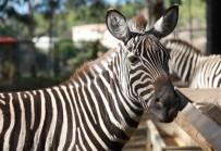 HAYVANAT BAHÇESİ - Hayvan Parkının Yeni Gözdeleri Zebralar Oldu