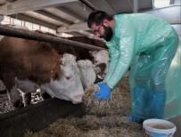 Kurduğu Çiftlikte İthal Ettiği Hayvanlarla, Yıllık 260 Ton Süt Üretiyor