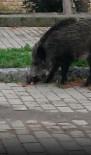Aç Kalan Domuzlar Ünlü Tatil Merkezinde Sokaklara İndi