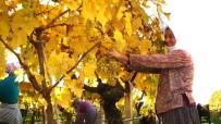 TARIM İLACI - Sarıgöl'de Kış Mevsiminde Üzüm Hasadı