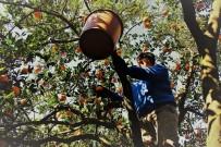 GÜBRE - Aydın'da Portakal Hasadı Başladı