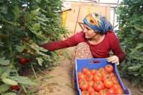 ZAM ŞAMPİYONU - Antalya'da Yılbaşı Öncesi Artan Ürün Fiyatları Üreticiyi Sevindirdi
