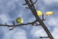 YAĞIŞLI HAVA - (Özel) Aralık Ayında Dalında Yeşil Erik Topladı